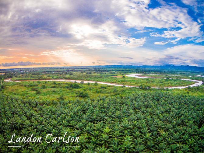 Aerial Palm Tree Farm