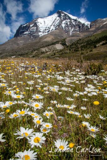 Wildflowers in Patagonia